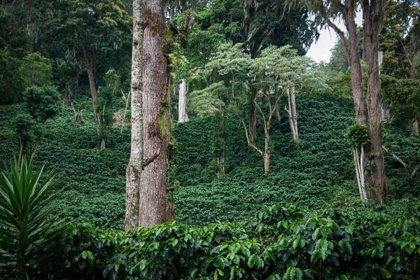 Coffee Plantation @Jinotega