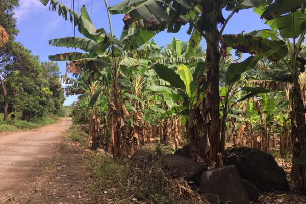 Bananenplantagen auf Ometepe Island
